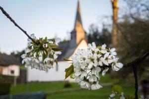 apple blossoms, apple tree, church