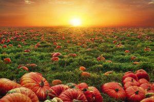 pumpkins, field, sunset-6673270.jpg